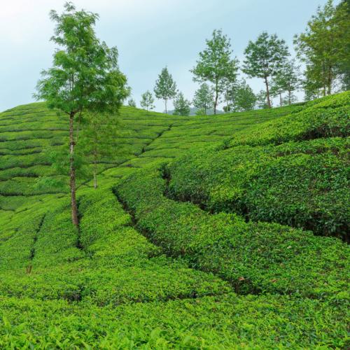Trip_to_munnar_tea_estate